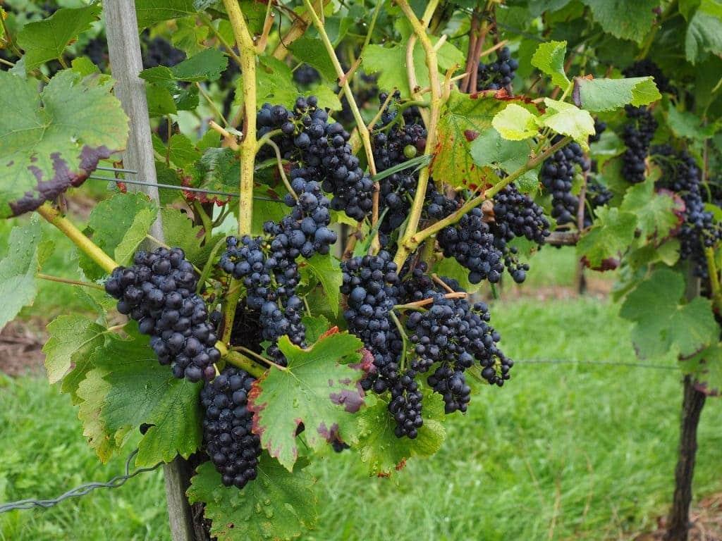 Cépages de vin en Corse