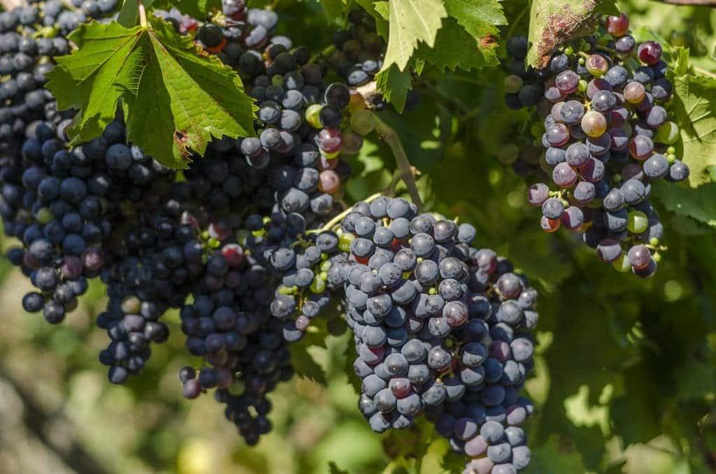 Culture du vin Bio
