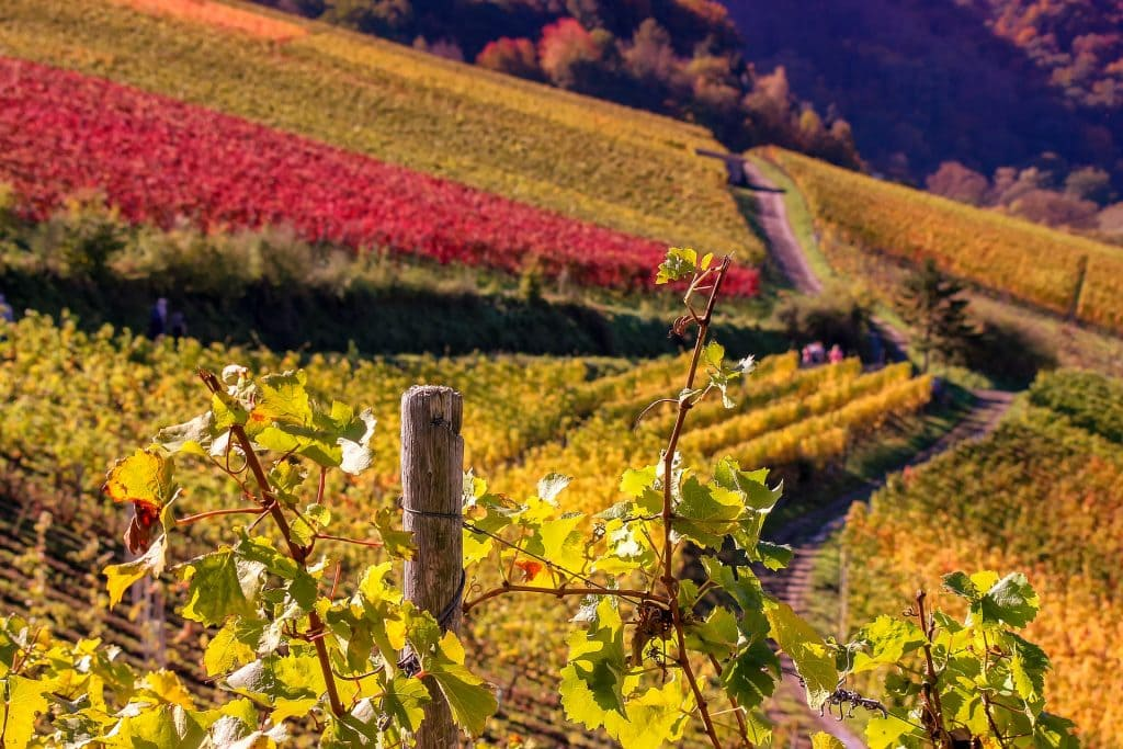 Vigne de val de Loire