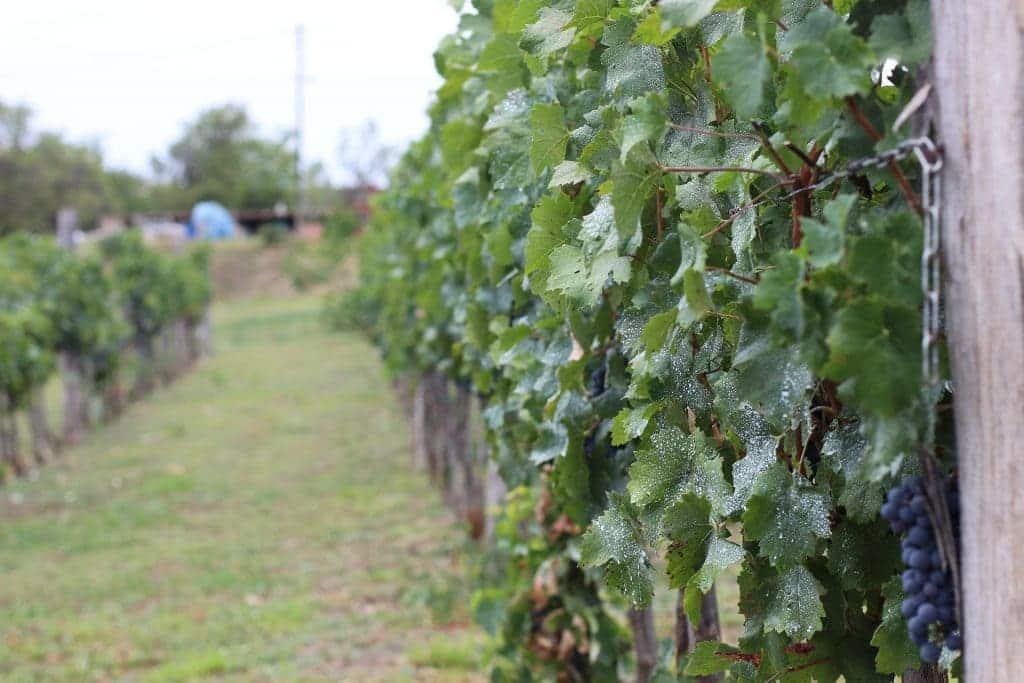 Vignoble du Languedoc