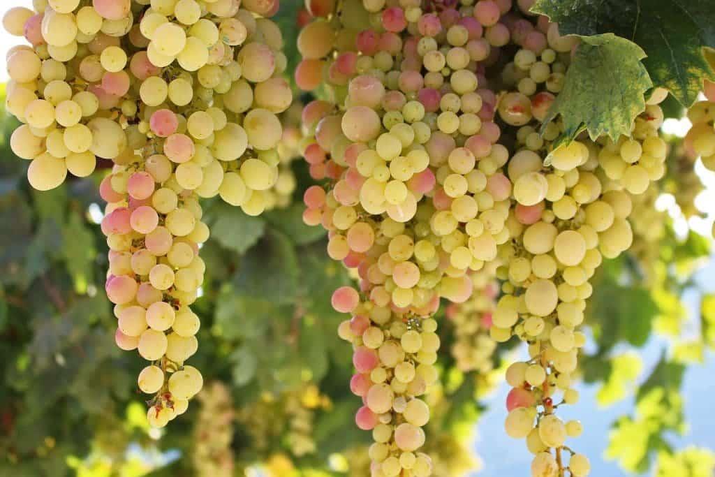 Vin cépage bio